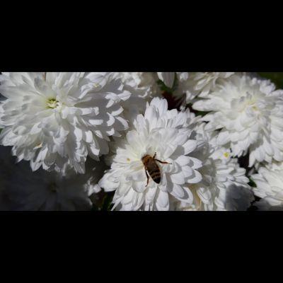 cvijet_pcela_